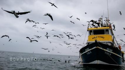Les oiseaux. Océan Pacifique, côte du Pérou.