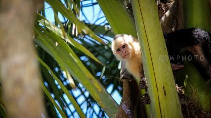 À l'affût. Parc National Manuel Antonio, Costa Rica.
